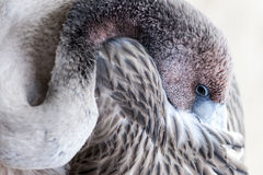 Jeune oiseau de flamant Photos stock