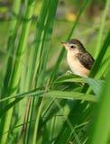 Jeune oiseau sur le schénanthe Photographie stock libre de droits