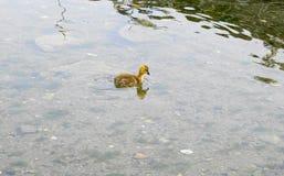 Jeune oison avec le plumage jaune dans la fin de l'eau  images stock