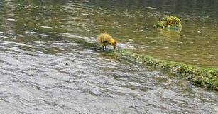 Jeune oison avec le plumage jaune dans la fin de l'eau  photographie stock libre de droits