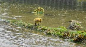Jeune oison avec le plumage jaune dans la fin de l'eau  images libres de droits