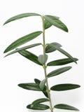 Jeune olivier d'isolement Photographie stock libre de droits