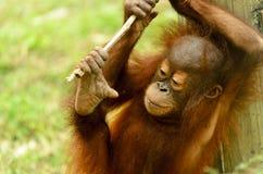 Jeune orang-outan Images stock