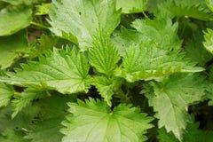 Jeune ortie cuisante (dioica d'urtica) dans le jardin Concept sain Photographie stock