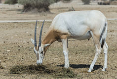 Jeune oryx de cimeterre du Sahara (leucoryx d'oryx) Images stock