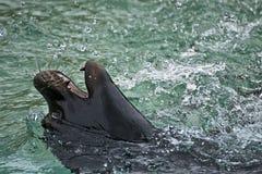 Jeune otarie jouant dans l'eau Image libre de droits