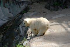 Jeune ours blanc Image libre de droits