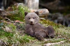 Jeune ours brun dans la forêt images stock
