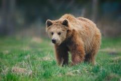 Jeune ours de Brown (arctos d'Ursus) Photographie stock libre de droits