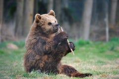 Jeune ours de Brown (arctos d'Ursus) Photo libre de droits