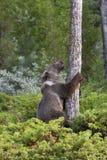 Jeune ours gris grimpant à un arbre Photos stock