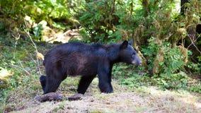 Jeune ours noir Photographie stock libre de droits