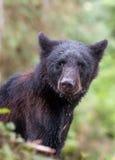 Jeune ours noir Images libres de droits