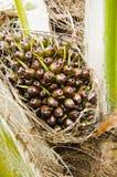 Jeune palmier à huile Photos stock