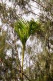 Jeune palmier sur un fond des arbres pleurants Images stock