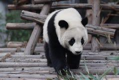 Jeune panda Photos libres de droits