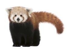 Jeune panda rouge ou chat brillant, fulgens d'Ailurus Photo libre de droits