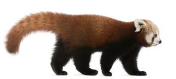 Jeune panda rouge ou chat brillant, fulgens d'Ailurus Image libre de droits
