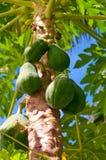 Jeune papaye verte fraîche pendant de l'arbre Photographie stock libre de droits