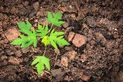 Jeune papayer Images libres de droits
