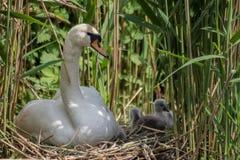 Jeune parent prenant soin des jeunes cygnes dans le nid photographie stock