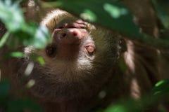 Jeune paresse en Costa Rica Image stock