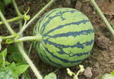 Jeune pastèque Images stock