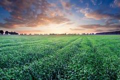 Jeune paysage de gisement de céréale dans la lumière d'or Image stock