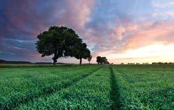 Jeune paysage de gisement de céréale dans la lumière d'or Photo libre de droits