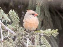 Jeune Perched cardinal féminin dans un pin Images stock