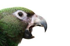 Jeune perroquet photographie stock libre de droits