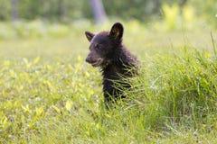 Jeune petit animal d'ours noir Images stock
