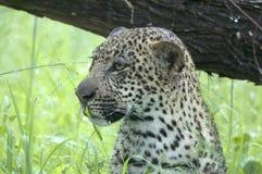 Jeune petit animal de léopard (pardus de Panthera) Images libres de droits