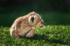 Jeune petit animal de lion dans le sauvage Photographie stock libre de droits