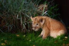 Jeune petit animal de lion dans le sauvage Photos stock