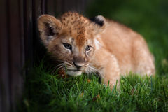 Jeune petit animal de lion dans le sauvage Photos libres de droits