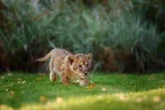 Jeune petit animal de lion dans le sauvage Photo stock