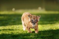 Jeune petit animal de lion dans le sauvage Photographie stock