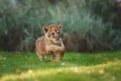 Jeune petit animal de lion dans le sauvage Image libre de droits