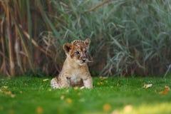 Jeune petit animal de lion dans le sauvage Images libres de droits