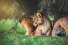 Jeune petit animal de lion dans le sauvage Photo libre de droits