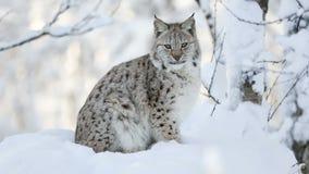Jeune petit animal de lynx dans la forêt froide d'hiver banque de vidéos