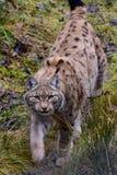 jeune petit animal de lynx de lynx Images libres de droits
