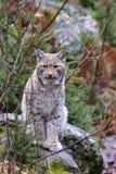 jeune petit animal de lynx de lynx Image stock
