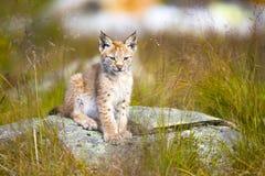 Jeune petit animal mignon de lynx se reposant dans l'herbe Images stock