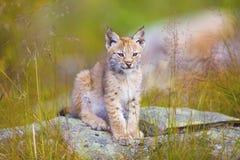 Jeune petit animal mignon de lynx se reposant dans l'herbe Photo libre de droits