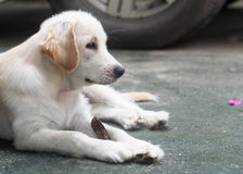 Jeune petit beau mini chiot mignon de croisement de taille Photographie stock