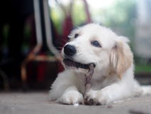 Jeune petit beau mini chiot mignon de croisement de taille Photographie stock libre de droits