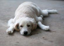 Jeune petit beau mini chiot mignon de croisement de taille Photo libre de droits
