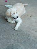Jeune petit beau mini chiot mignon de croisement de taille Photos stock